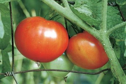 Фото помидоров сорта Джина