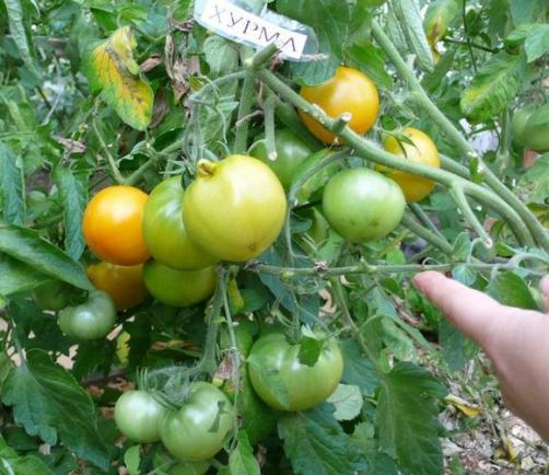 Хурма сорт томата