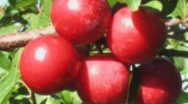 слива Красный шар