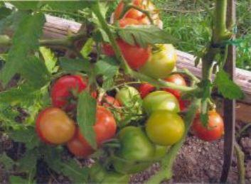 Фото помидоров сорта Сибирский скороспелый