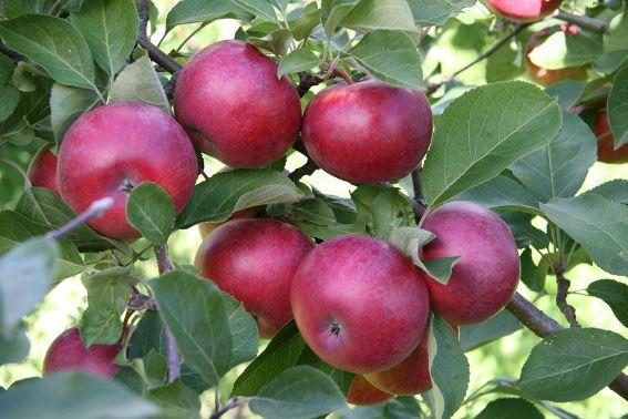 яблука лобо