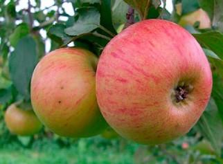 Яблоня Медуница: описание сорта с фото, отзывы