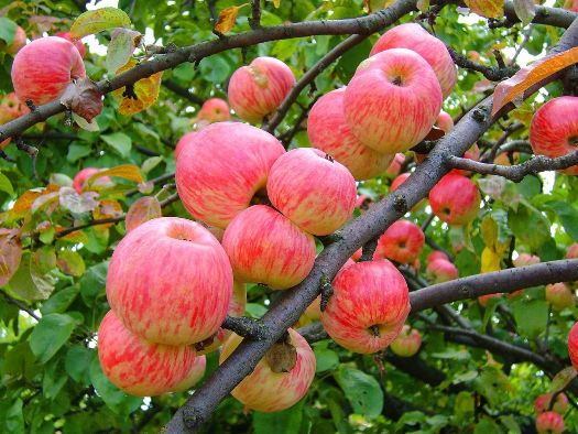 Уход за яблоней заключается в поливе, подкормках, обрезке, профилактике болезней и вредителей, правильной подготовке к зимовке.