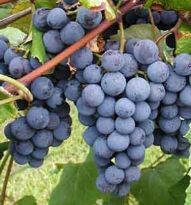 Виноград изабелла описание сорта фото