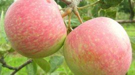 Яблоня Конфетное:описание сорта с фото, отзывы