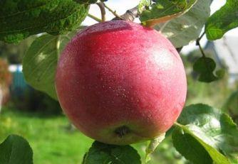 Яблоня Мельба: описание сорта с фото, отзывы