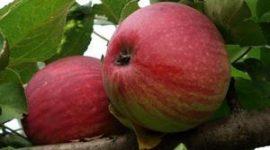 Яблоня Орловское Полосатое: описание сорта с фото, отзывы