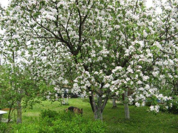 Медуница яблоня
