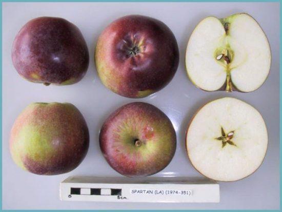 Яблоки сорта Спартан