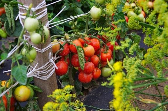 Почему помидоры лучше подвязать?