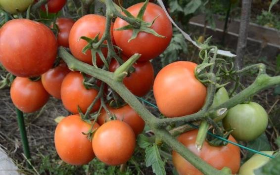 Фото помидоров сорта Дубрава