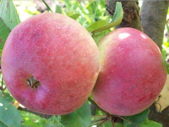 Яблоня медуница описание фото отзывы