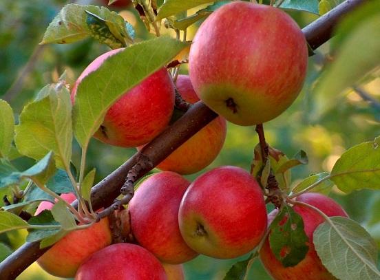 Яблоня мантет