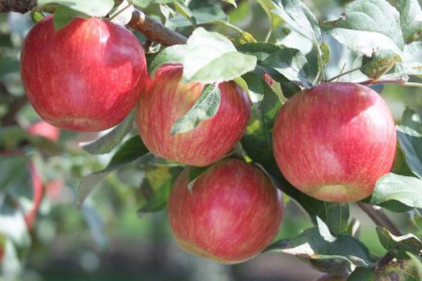 Яблоня пепин шафранный описание фото отзывы