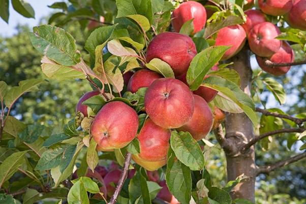 Яблоня глостер