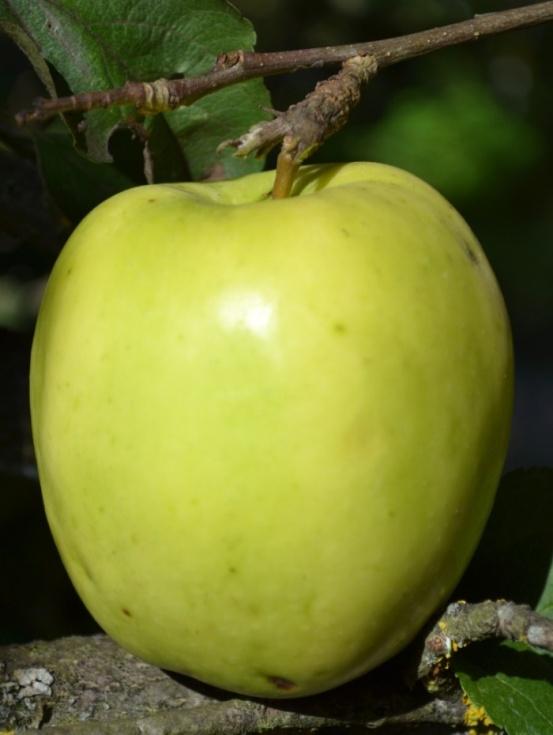 Яблоня приземленное описание фото отзывы
