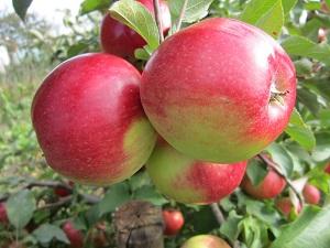 люголь яблоня описание