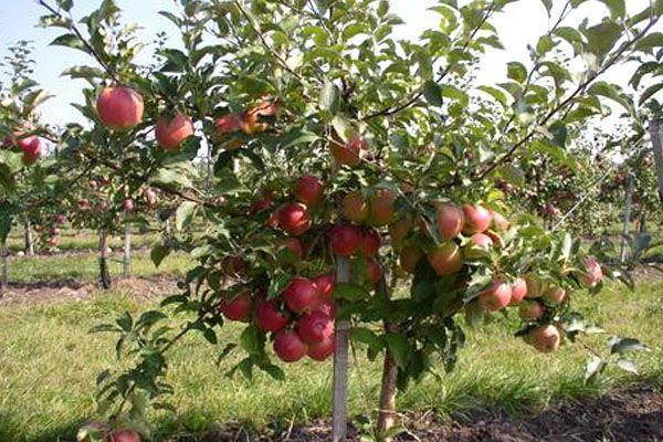 Лигол - сорт яблони
