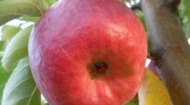 Яблоня Жигулевское: описание сорта с фото, отзывы
