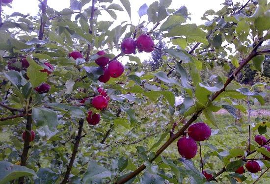яблуня китайка