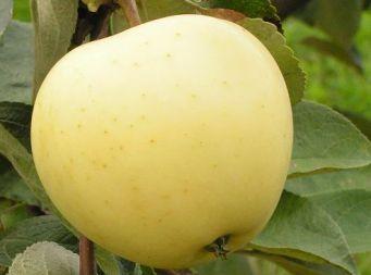 Яблоня Белый налив или Папировка: описание сорта с фото, отзывы