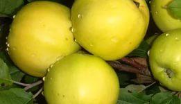 Яблоня Чудное: описание сорта с фото, отзывы