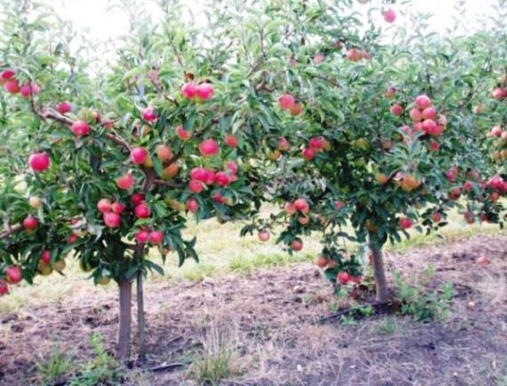 Посадка и уход за яблоней