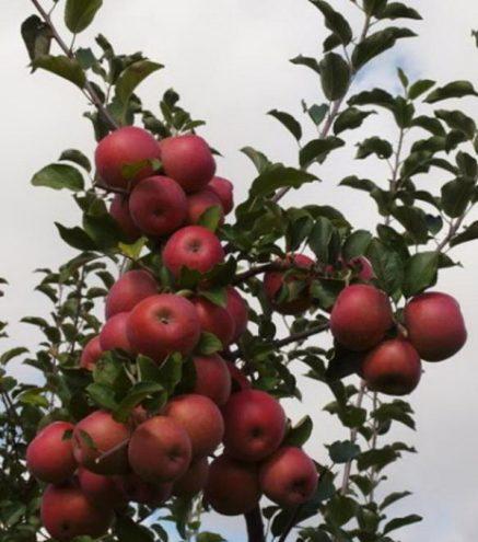 Как выглядит яблоня?