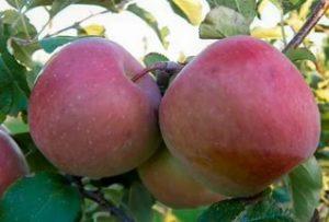 Яблоня Фуджи: описание сорта с фото,отзывы