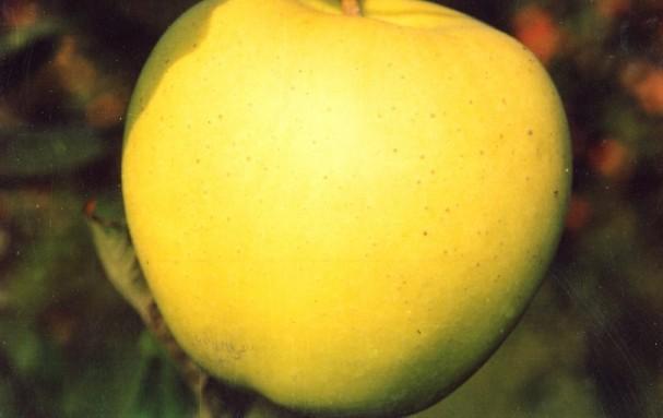 Яблоня Голден Делишес: описание сорта с фото, отзывы
