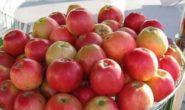 Яблоня Пепин шафранный: описание сорта с фото,отзывы
