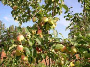 Яблоня Китайка: описание сорта с фото, отзывы