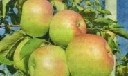 Яблоня Синап: описание сорта с фото, отзывы