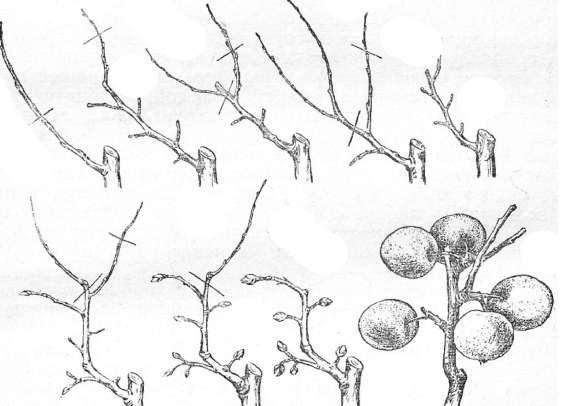 Яблоня коричное полосатое описание фото отзывы