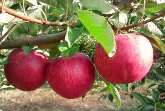 Сорт яблок слава победителям