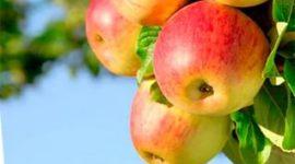 Яблоня Башкирская красавица: описание сорта с фото, отзывы