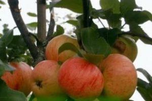 Яблоня Коричное полосатое: описание сорта с фото, отзывы