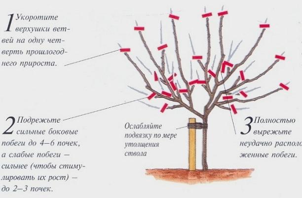 Сорт яблони услада описание