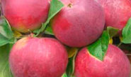 Яблоня Орлик: характеристика и описание фото, отзывы