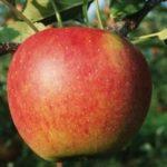 Яблоня Услада — скороплодный, осенний, урожайный сорт!