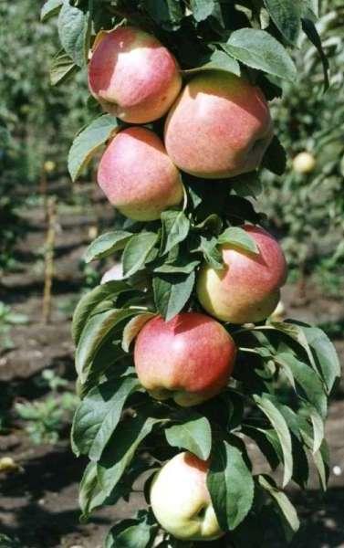 Яблуня колоновидна валюта опис фото відгуки
