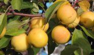 Яблоня Уральское наливное: описание сорта с фото, отзывы