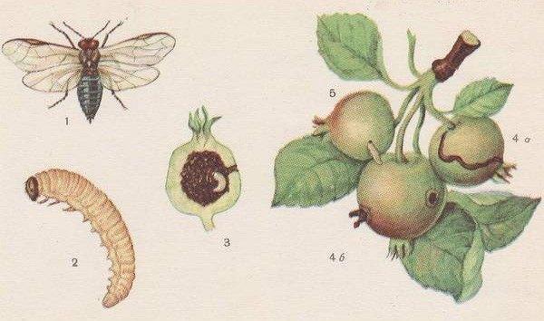 Яблоневый пилильшик