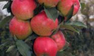Яблоня Валюта колоновидная: характеристика, описание с фото, отзывы