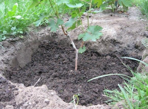 Посадка винограда аркадия