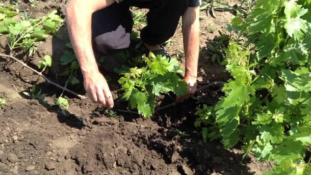 Отводками от взрослого куста можно получить любой из подвидов винограда Восторг