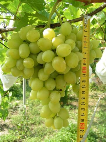 Уход за виноградом Аркадия