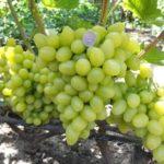 Виноград Аркадия — урожайный, ранний, сладкий сорт!