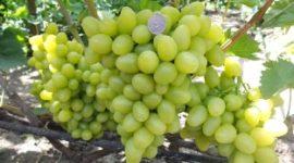 Виноград Аркадия: описание сорта с фото, видео. Посадкаи уход. Отзывы