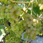 Виноград Восторг — морозостойкий, ранний, крупный сорт!